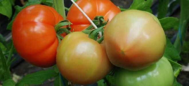 Томат Берберана F1: характеристика и описание сорта, фото, урожайность, выращивание