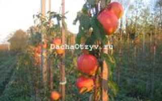 Яблоня сорта Пинова: ботаническое описание, агротехника выращивания и уход за деревом, фото, отзывы