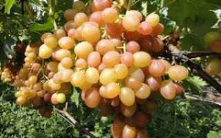 Виноград Хамелеон: характеристики и описание сорта, достоинства и недостатки, фото