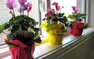 Почему не цветёт цикламен в домашних условиях: что делать, правильный уход за растением