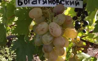 Виноград «Богатяновский»: описание сорта, фото, посадка и уход