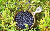 Схемы обработки голубики садовой весной от болезней и вредителей, болезни листьев и стебля, их лечение, фото