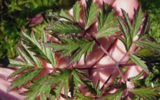 Сорт бесшипной ежевики Торнлесс Эвергрин (Blackberry Thornless Evergreen) : описание сорта, фото отзывы садоводов
