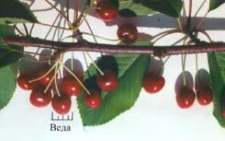 Черешня Веда: описание сорта и его характеристика, особенности посадки и ухода, фото
