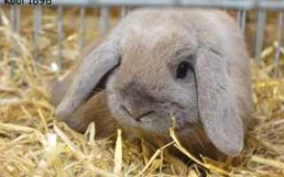 Кролик породы карликовый баран: описание и фото, сколько они живут, размеры, как ухаживать и содержать
