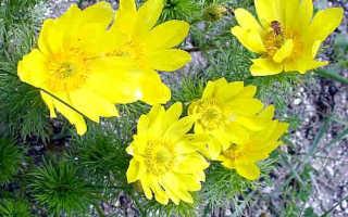 Трава адонис (горицвет) весенний: лечебные свойства и противопоказания, показания и инструкция по применению, рецепт настойки