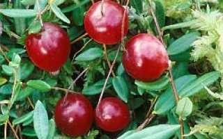 Является ли клюква мочегонным средством: полезные и лечебные свойства клюквы, отзывы