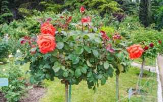 Штамбовая роза: особенности, посадка и уход, как вырастить, как укрывать на зиму, обрезка, фото, видео