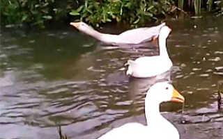 Пруд для гусей и уток: как сделать искусственный водоём своими руками на приусадебном участке, что нужно, чтобы