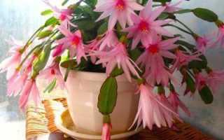 Подкормка декабриста в домашних условиях для цветения: сроки подкормки, подходящие удобрения и как их правильно использовать