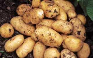 Картофель Наташа: характеристика и описание сорта, выращивание и урожайность, фото