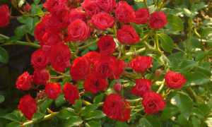 Роза Скарлет: описание и классификация разновидностей, посадка и уход, фото