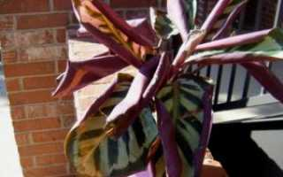 Почему сохнут и скручиваются листья у калатеи: что делать