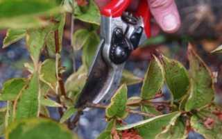 Уход за вейгелой осенью: как подготовить кустарник к зиме, чем подкормить и как формировать куст растения