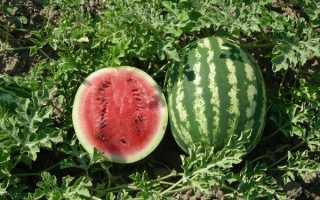Арбуз Кримсон Свит: описание сорта, особенности выращивания и ухода, фото