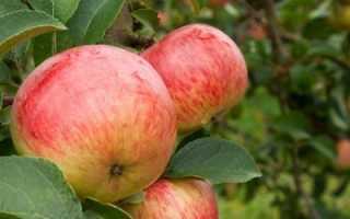 Яблоня Боровинка: ботаническое описание и характеристика сорта, агротехника выращивания и ухода за деревом, фото