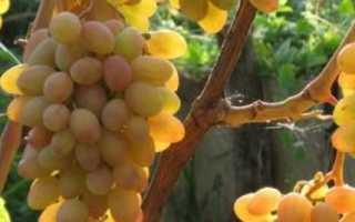 Виноград Румба: описание сорта, фото, отзывы