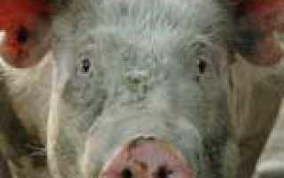Саркоптоз свиней (зудневая чесотка): симптомы и лечение, фото