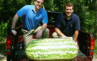 Самая большая и длинная морковка в мире, фото