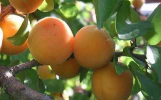 Абрикос Графиня: ботаническое описание и характеристика, агротехника выращивания и ухода, фото