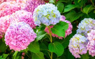 Соседи можжевельника обыкновенного в саду: груша, гортензия, розы, сочетания с плодовыми деревьями, что можно, а что нельзя