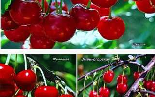Вишня степная: характеристика и описание сорта, агротехника выращивания и способы ухода, фото