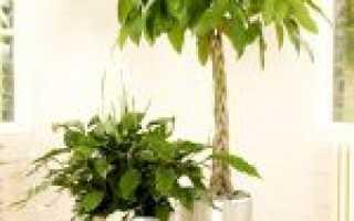 Пахира (комнатное растение): уход в домашних условиях, фото, размножение, пересадка, обрезка, приметы