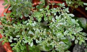 Пилея мелколистная: описание растения с фото, особенности выращивания и ухода в домашних условиях