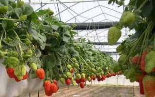 Выращивание клубники по голландской технологии в теплицах круглый год: способ, метод, пошаговая инструкция