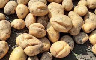 Почему в земле трескается картошка: причины и методы борьбы, фото